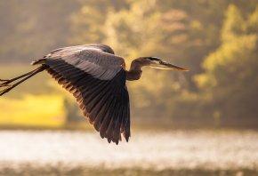 цапля, вода, пруд, журавль, полет, Птица