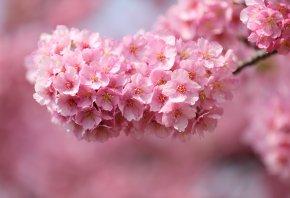 сакура, веточка, вишня, дерево, розовые, лепестки