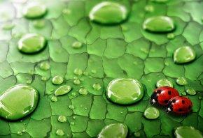 божья коровка, листик, зеленый, капли
