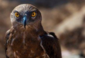 Обои взгляд, клюв, ястреб, птица, хищник
