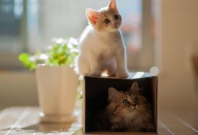 две, кошки, Котенок, коробка, пара котят