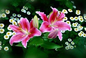 лилии, розовые, ромашки, букет, бутоны
