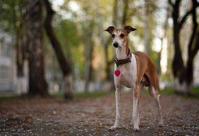 Собака, улица, фон, уши, взгляд