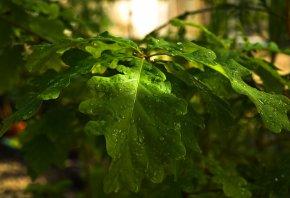 Ветка, листья, зеленые, лес, капли, дерево, дуб