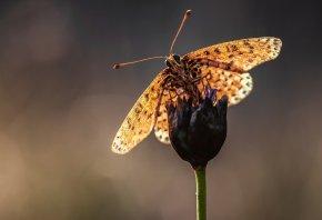 усики, бабочка, Макро, стебель, цветок
