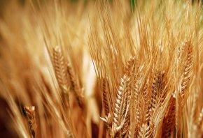 колоски, хлеб, зерно, золотые, урожай