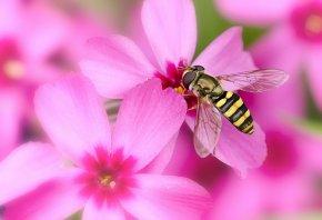 Обои цветы, макро, муха, полосатая, крылья