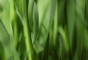 полоски, узкие, макро, листья, зелень, Трава