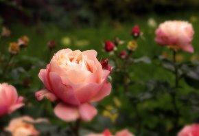 Обои роза, цветы, бутон, осень, розовый