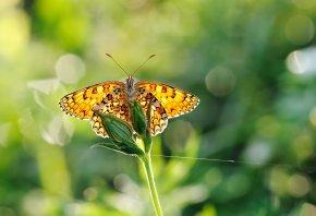 крылья, блики, насекомые, Бабочка, зелень