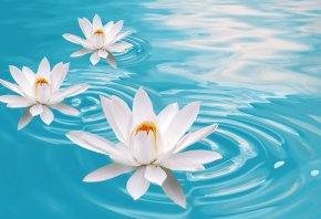 лотосы, лилии, вода, 3D, разводы