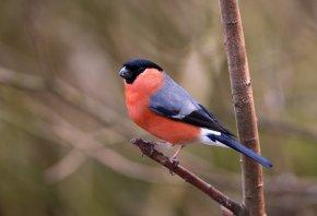 снегирь, птица, ветка, красное брюшко