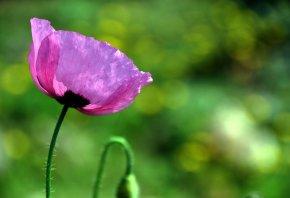 мак, цветок, розовый, природа, лето, зелень