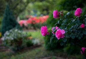 Роза, цветы, куст, розовый, парк