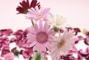 Обои Герберы, розовые, лепестки, красные, белые