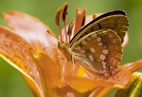 цветок, лилия, оранжевая, бабочка, усики