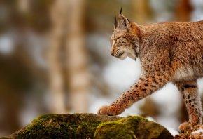 рысь, камни, охота, профиль, хищник