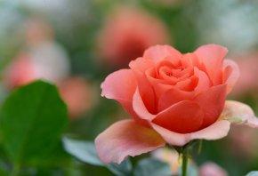 Обои роза, цветок, бутон, лепестки