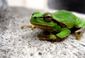 жаба, зеленая, глаз, сидит, лягушка