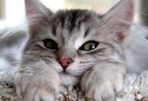 Обои уши, лапы, глаза, кошка, серый, взгляд, смотрит, Кот