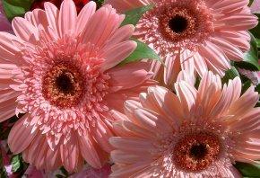 букет, герберы, розовые, красивые, нежные