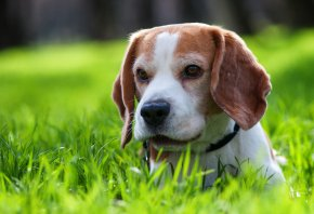 собака, щенок, трава, прогулка, друг