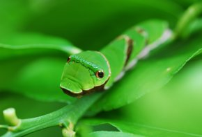 гусеница, зеленая, глаза, лист