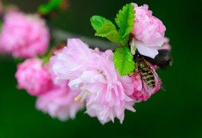 цветение, цветы, муха, журчалка, полосатая, ветка