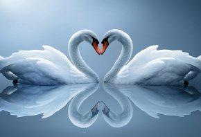 лебеди, белые, пара, сердце, отражение