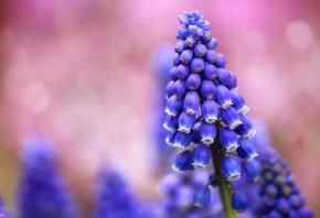 Мускари, синие, поле, розовый, фон, блики