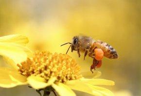 Обои пчела, цветок, макро, летит