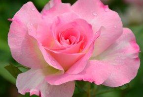 цветок, роза, розовая, макро, природа, сад