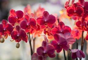 орхидея, фалинопсис, фалик, ветка, свет, освещение