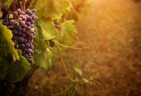 гроздь, усики, Виноград, ягоды