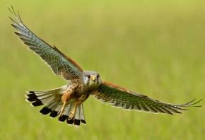 крылья, птица, полет, взмах