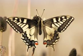 Обои бабочка, усики, крылья, красиво