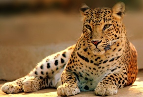 леопард, кошка, хищник, лежит