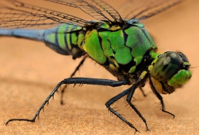 Обои стрекоза, зеленая, глаза, крылья, лапки