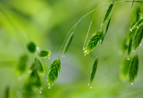 Обои листья, роса, трава, зелень, капли