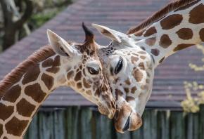 жирафы, зоо, любовь, пятна