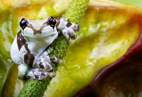 жаба, полосатая, листик, сидит
