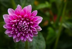 цветок, георгина, розовый, зелень, макро
