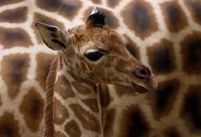 жираф, пятна, ушки, глаза, мордочка