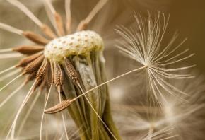 Обои одуванчик, природа, семена, макро