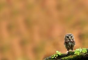 совенок, птица, ветка, мох, большие глаза