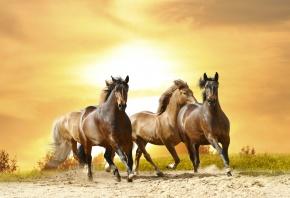 Обои лошади, черные, скачут, тобун, закат