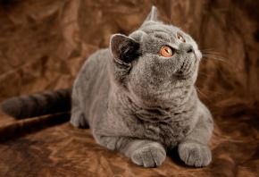 кошка, кот, британская короткошерстная, британец
