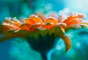 ясный цветок, ромашка, капли воды, красивая