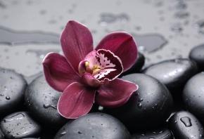 цветок, орхидея, камни, черные, капли