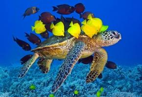 Обои черепаха, рыбки, желтые, океан, плывут